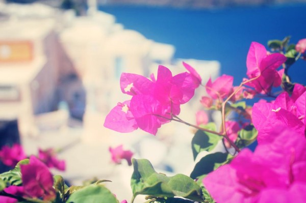 Flowers Santorini